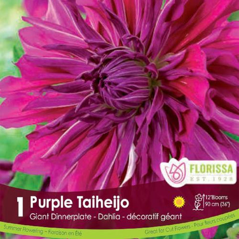 Dahlia Dinnerplate Purple Taiheijo spring bulb