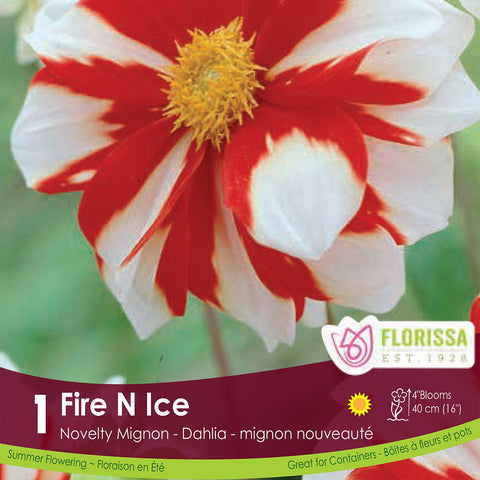 Dahlia Fire N Ice red and white