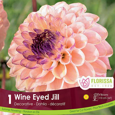 Dahlia Decorative Wine Eyed Jill Pink and Purple Spring Bulb