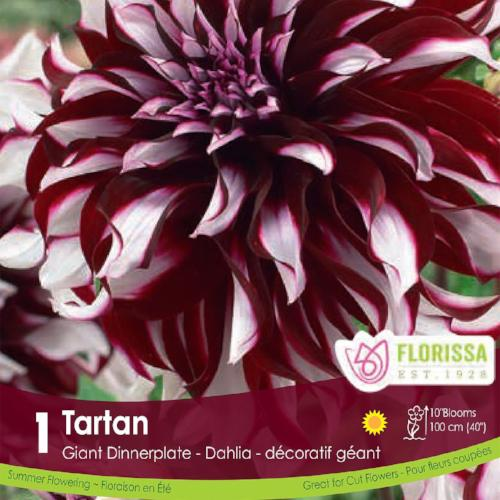 Dahlia Dinnerplate Tartan Purple Red White Spring Bulb