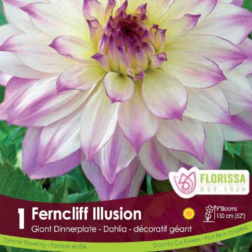 Dahlia Dinnerplate Ferncliff Illusion White and Pink Spring Bulb