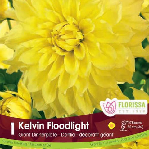 Dahlia Dinnerplate Kelvin Floodlight Yellow Spring Bulb