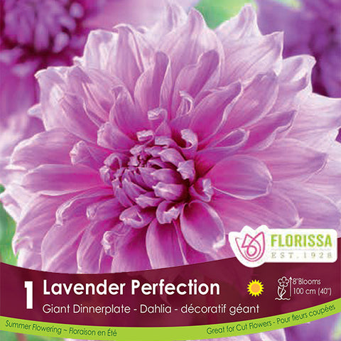 Dahlia Dinnerplate Lavender Perfection pink spring bulb