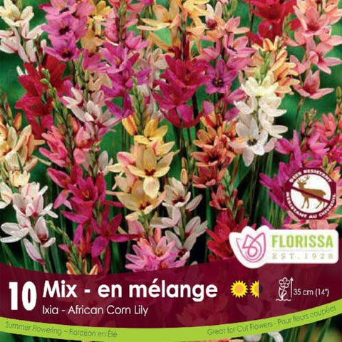 Ixia Hybrids Mixed pink, yellow, white spring bulb