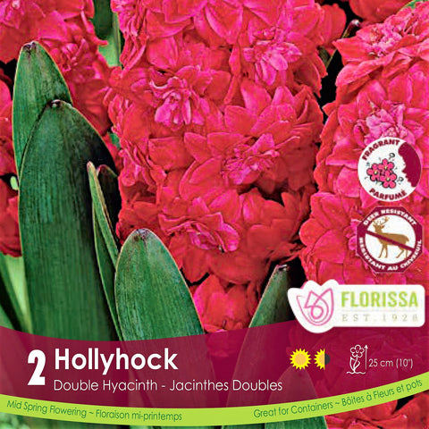 Hot Pink Double Hyacinth Hollyhock