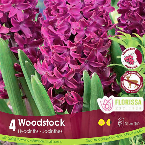 Pink Purple Hyacinth Woodstock