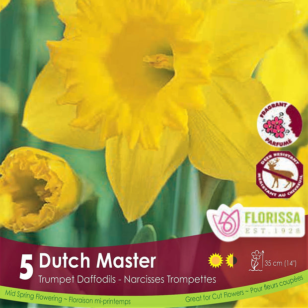 Yellow Trumpet Daffodils Narcissus Dutch Master
