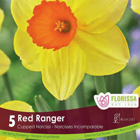 Yellow and Orange Cupped Narcissus Red Ranger