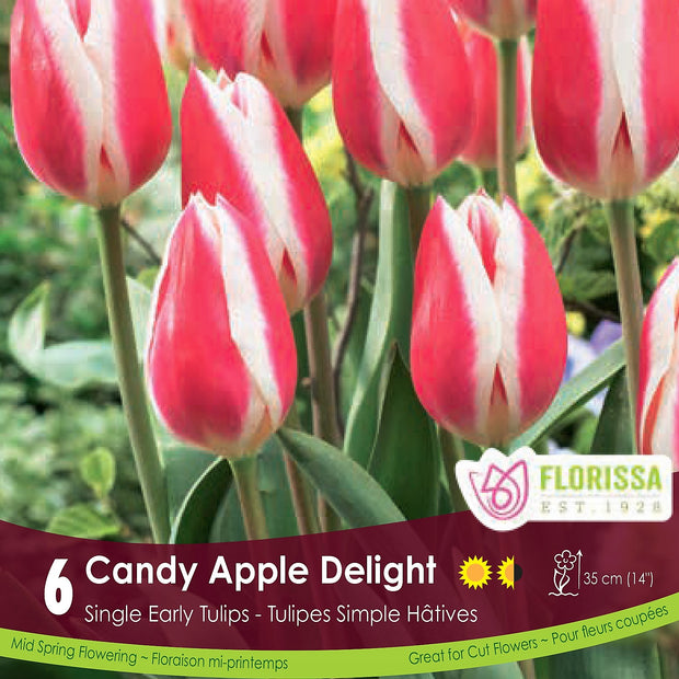 Pink Single Early Tulip Candy Apple Delight