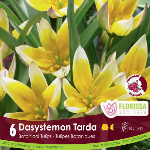 Dasystemon Tarda white and yellow botanical tulip