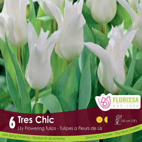 White Lily Flowering Tulip Tres Chic