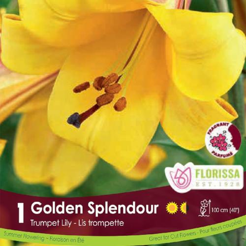 Lily Trumpet Golden Splendour Yellow Spring Bulb