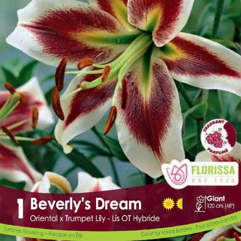 Oriental x Trumpet Lily Beverly's Dream Spring Bulb