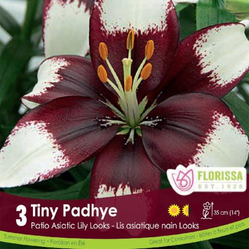 Patio Asiatic Lily Tiny Padhye