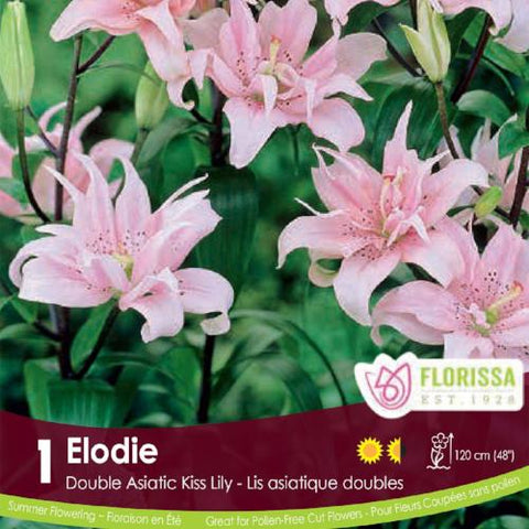 Double Asiatic Kiss Lily Elodie Spring Bulb