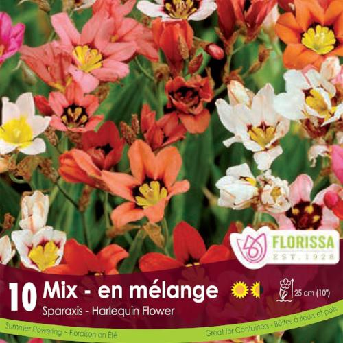 Sparaxis Mix Red, Orange, Yellow, Pink, White Spring Bulb