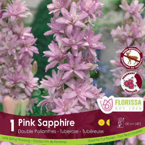 Tuberose Pink Sapphire Double Polianthes Spring Bulb