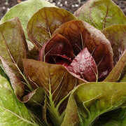 Radicchio di Treviso - West Coast Seeds