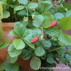 Strawberries Mignonette - Renee's Garden