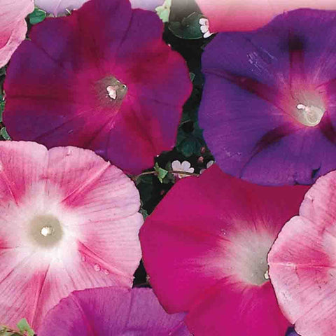 Morning Glory Early Call Mixed - McKenzie Seeds