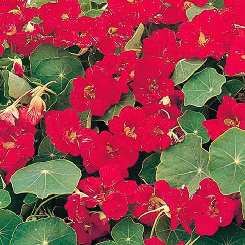 Nasturtium Dwarf Cherry Red - McKenzie Seeds