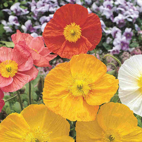 Poppy Iceland Mixed Colors - McKenzie Seeds
