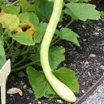 Squash Tromboncino - West Coast Seeds