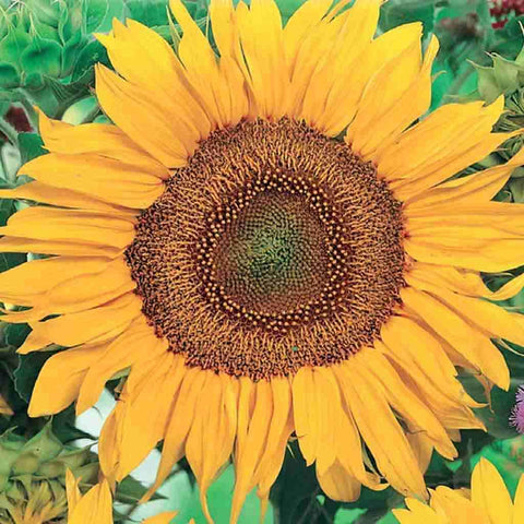 Sunflower Sunspot - McKenzie Seeds