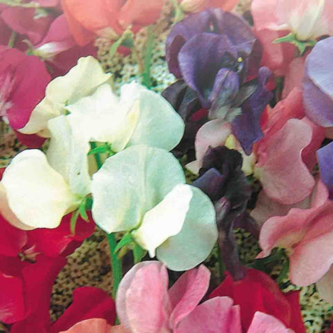 Sweet Pea Spencer Giant Mix - McKenzie Seeds