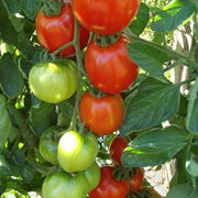 Tomato Moneymaker Organic - West Coast Seeds