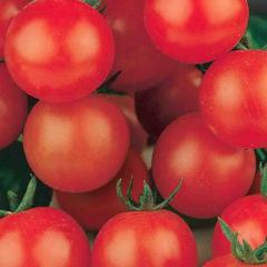 Tomato Tiny Tim - McKenzie Seeds
