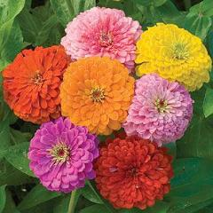 Zinnia Giant Flowered Mix - Burpee Seeds