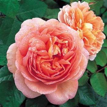 Abraham Darby Orange Pink English Shrub David Austin Rose