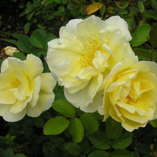 Topaz Jewel - Weeks Rose
