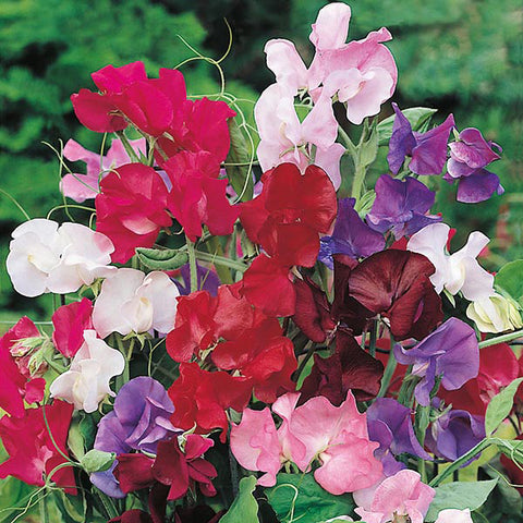 Sweet Pea Bouquet - Mr. Fothergill's Seeds
