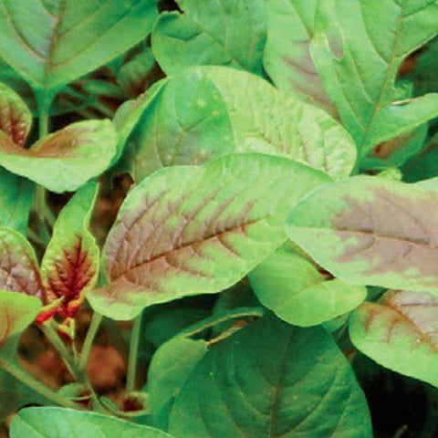 Amaranth Red Leaf - McKenzie Seeds