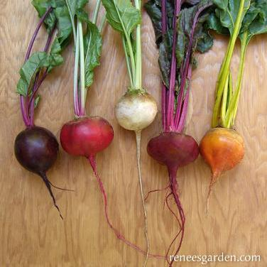 Beets Five Color Rainbow - Renee's Garden Seeds