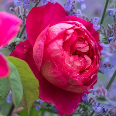 Red Pink Benjamin Britten - David Austin Rose