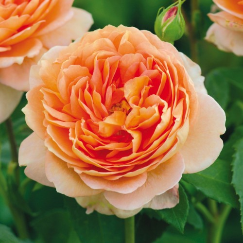 Orange Carding Mill - David Austin Rose