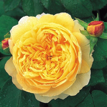 Charles Darwin - David Austin Rose yellow