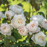 Desdemona - David Austin Rose