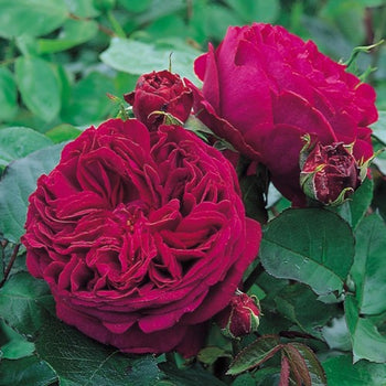 Falstaff - David Austin Rose