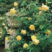 Golden Celebration - David Austin Rose yellow