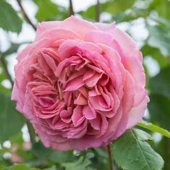 Jubilee Celebration - David Austin Rose
