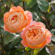 Lady Emma Hamilton - David Austin Rose