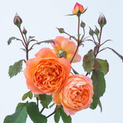 Lady Emma Hamilton - David Austin Rose orange