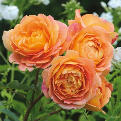 Lady of Shalott - David Austin Rose orange yellow