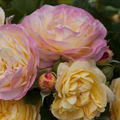 Life of the Party Weeks Floribunda Rose Pink White and Yellow