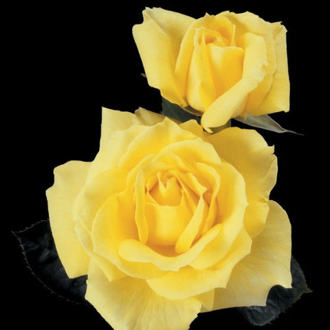 Mellow Yellow - Weeks Rose