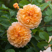 Port Sunlight - David Austin Rose